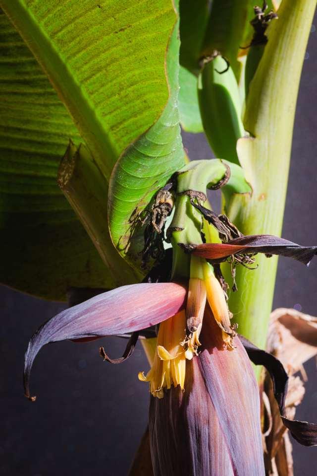 Blüte an der Banane