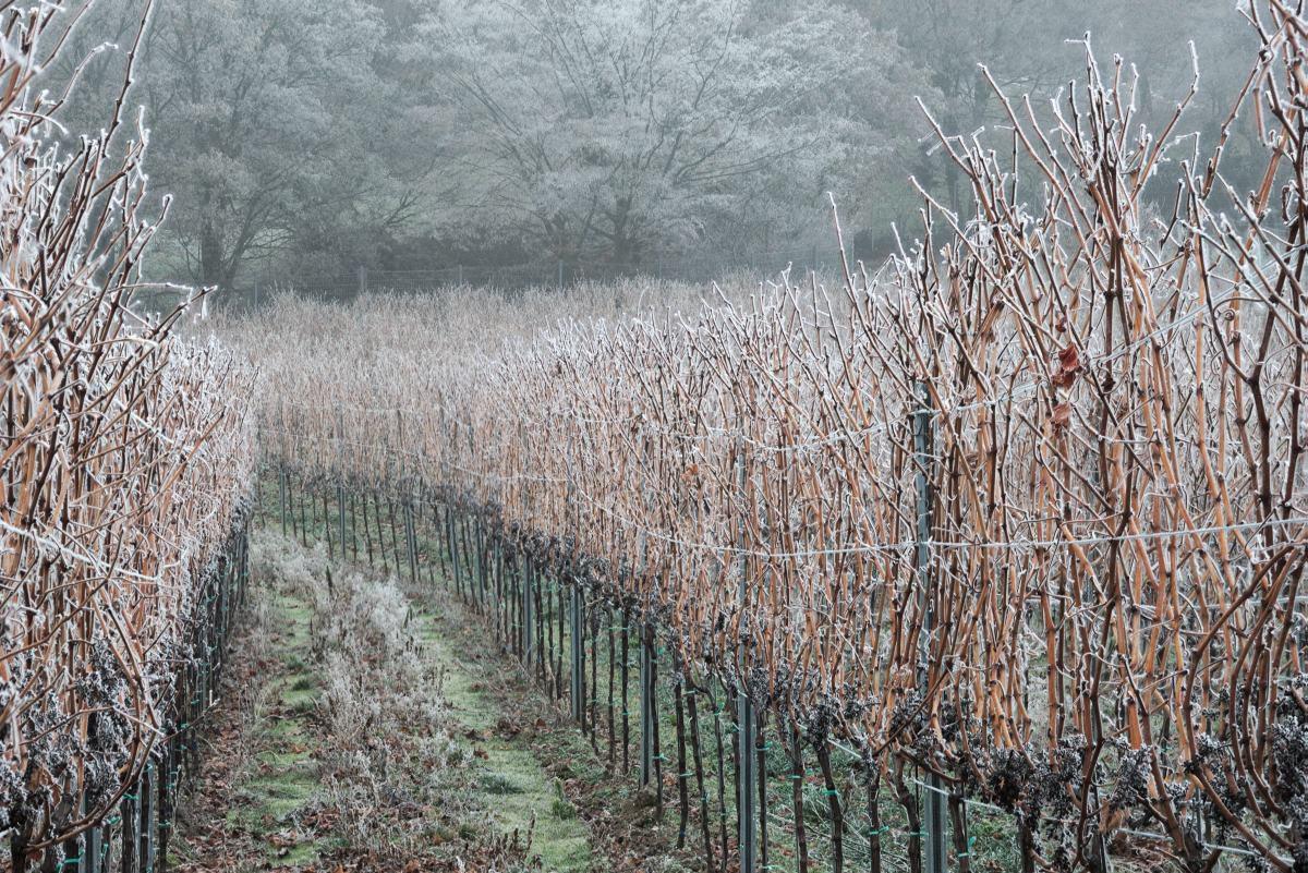 Rebzeile im gefrorenen Nebel