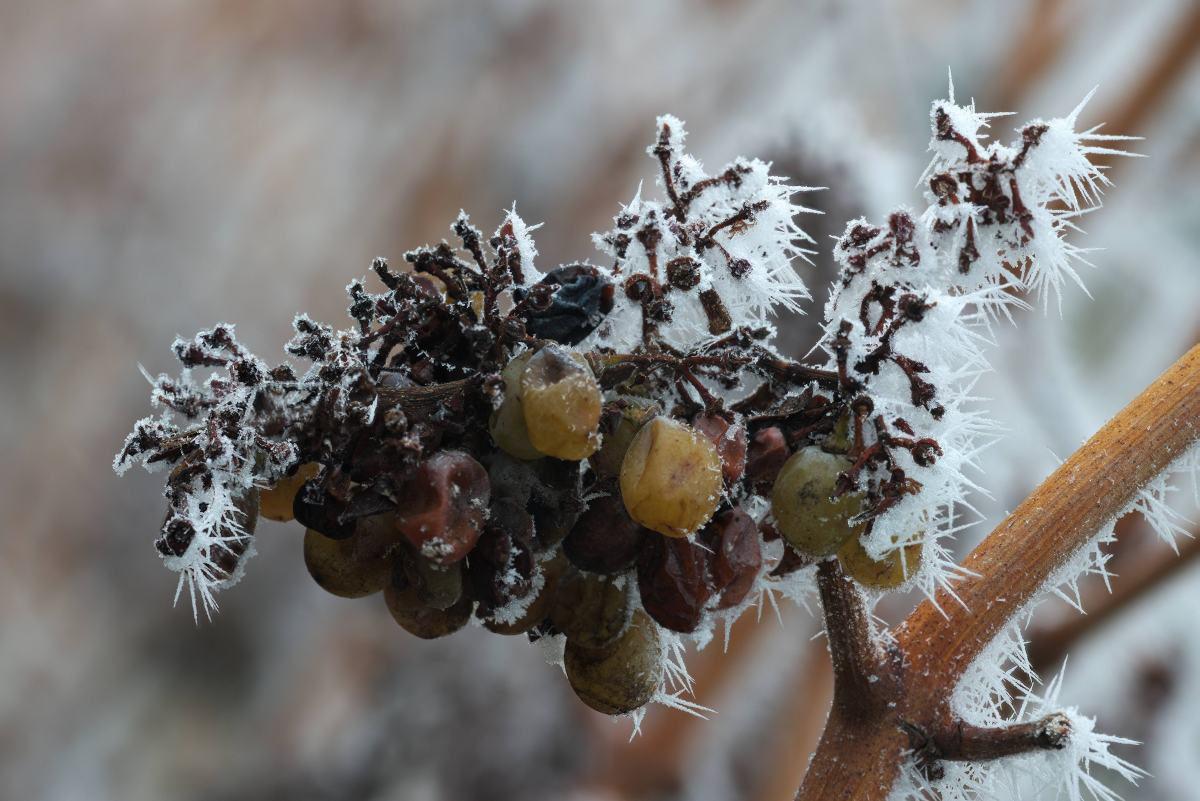 Gefrorener Nebel auf Weintrauben