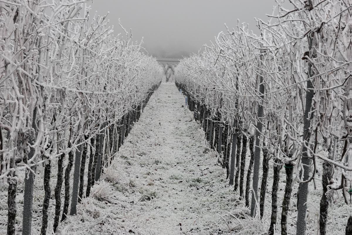 Weinberg im gefrorenen Nebel