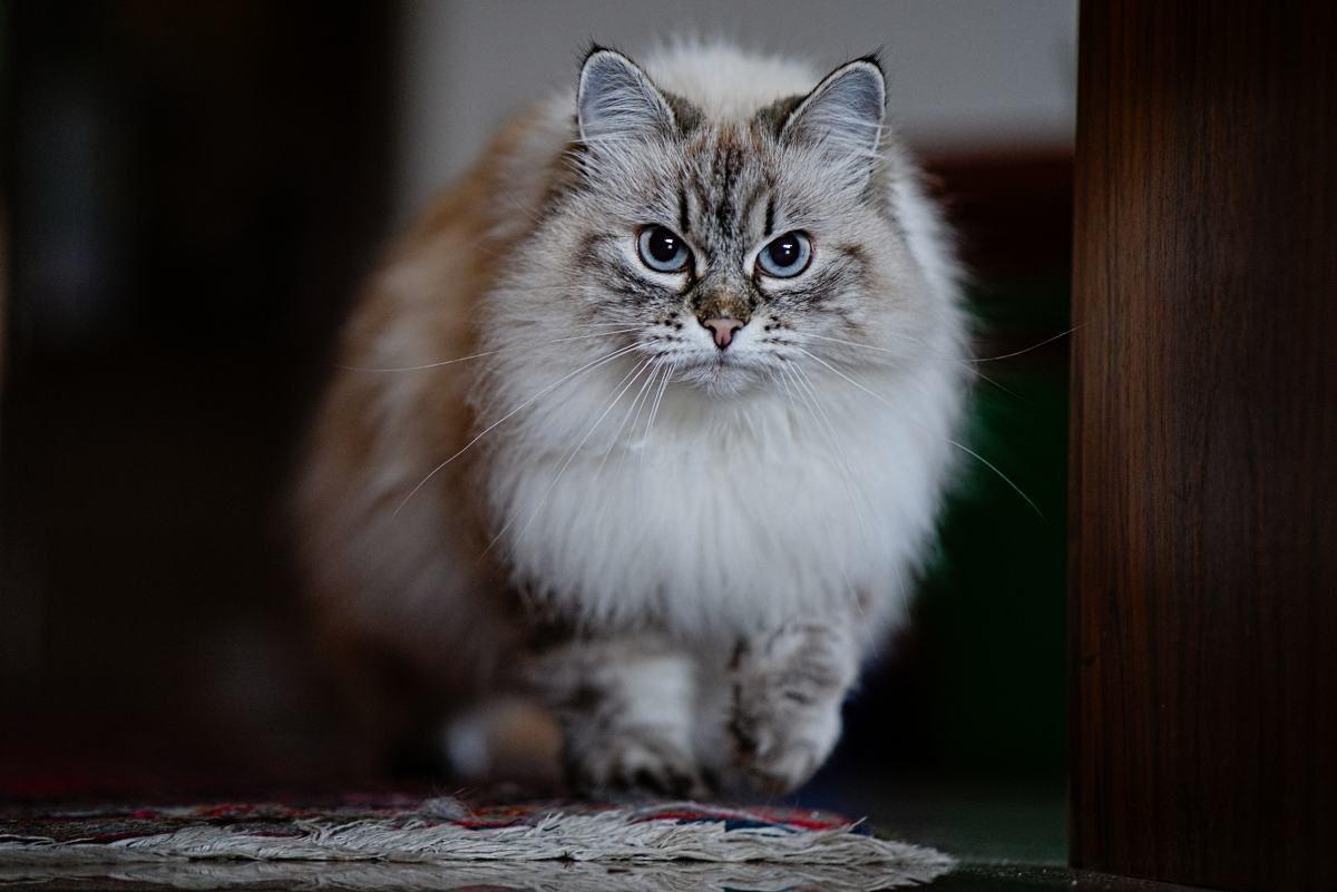 Laufende Katze, Sony A7III